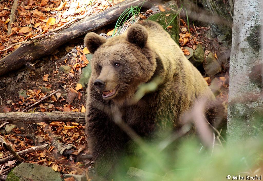 Predavanje o medvedu